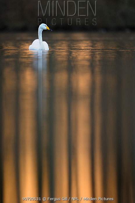 Whooper Swan (Cygnus cygnus) adult bird in afternoon light. Perthshire, Scotland, March.