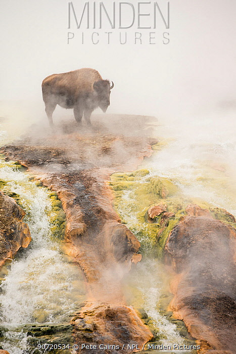 Bison (Bison bison) standing in geothermal run-off in winter, Yellowstone National Park, Wyoming, USA, February.