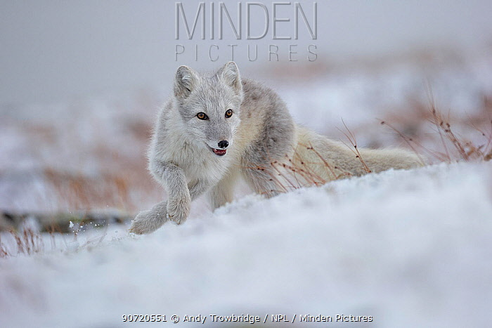 Arctic Fox (Alopex / Vulpes lagopus) hunting in fresh snow, during moult from grey summer fur to winter white. Dovrefjell National Park, Norway, September.
