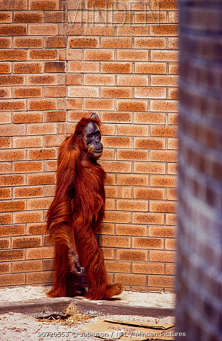 'Kith' / 'Kin' Sumatran orangutan (Pongo abelii) captive animal in walled enclosure, Perth Zoo, Western Australia, August 2001.