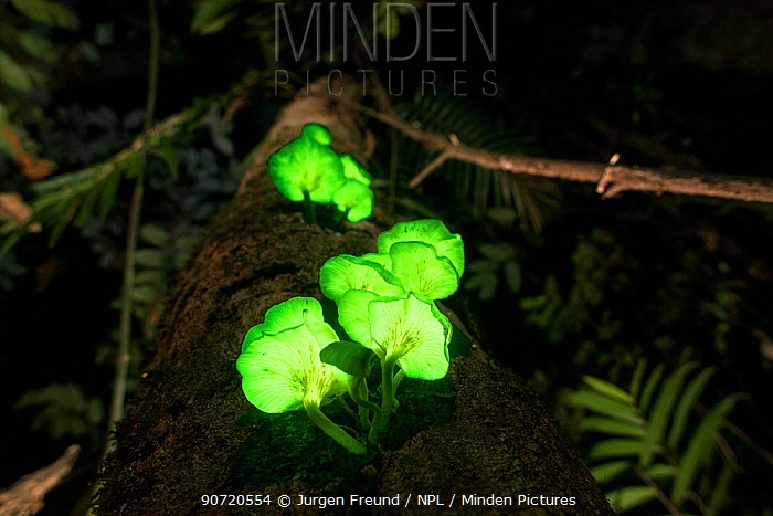 Glowing  / bioluminescent  fungi on rainforest tree, possibly Omphalotus nidiformis, Tableland rainforest, Far North Queensland, Australia
