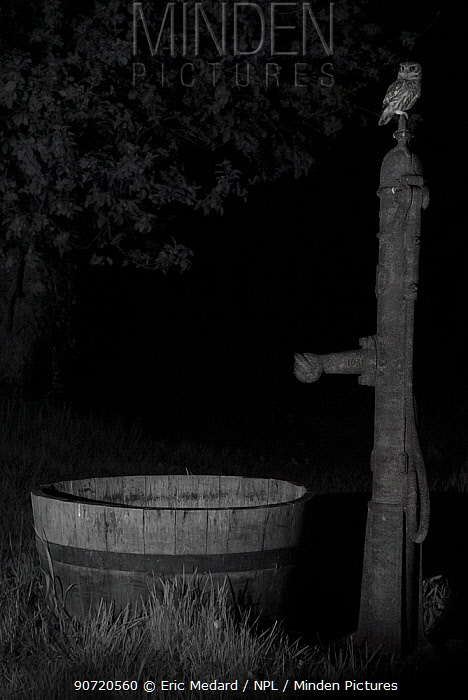 Little owl (Athene noctua) on water pump in garden, taken at night with infra red remote camera trap, Mayenne, Pays de Loire, France.