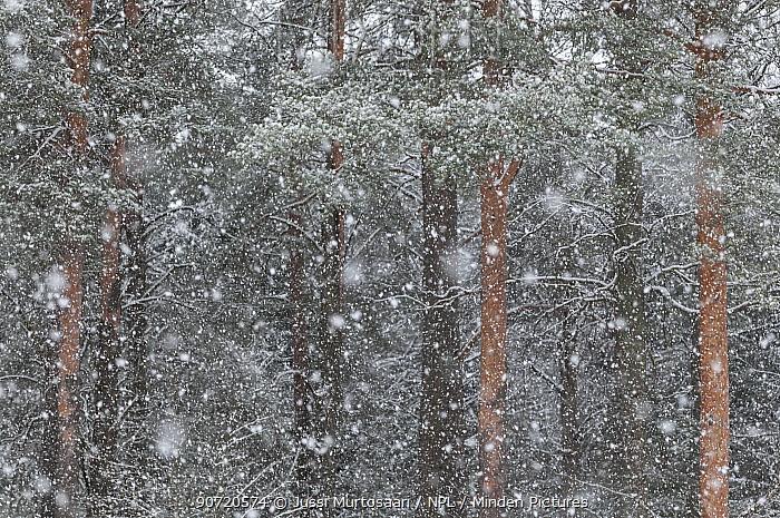Blizzard in taiga forest, central Finland, February.