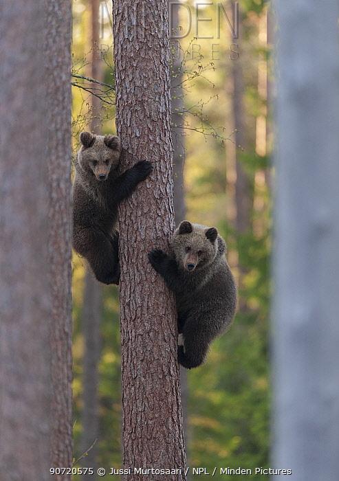 European brown bear (Ursus arctos arctos) two cubs climbing tree, northern Finland, May.