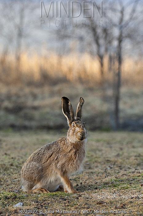 European hare (Lepus europaeus) portrait, central Finland, April.