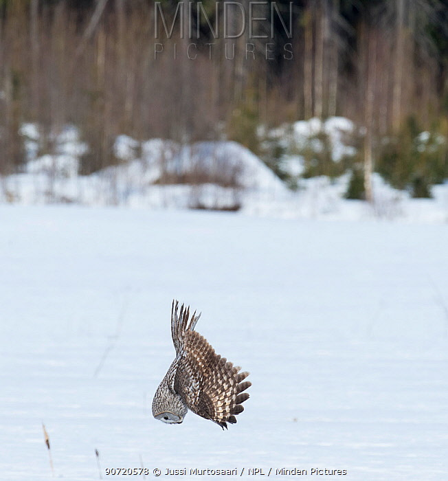 Great Grey Owl (Strix nebulosa) diving for prey, southern Finland, April.