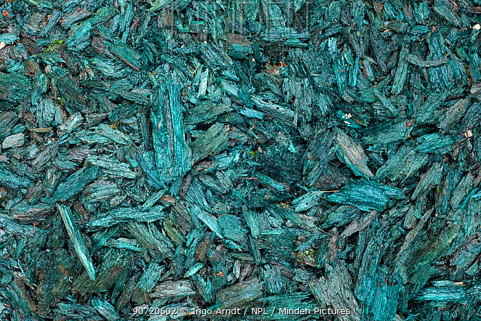 Vogelkop bowerbird (Amblyornis inornatus) decoration material (blue rotten wood) collected in order to attract females to his bower, Arfak Mountains, Irian Jaya, New Guinea, Indonesia.