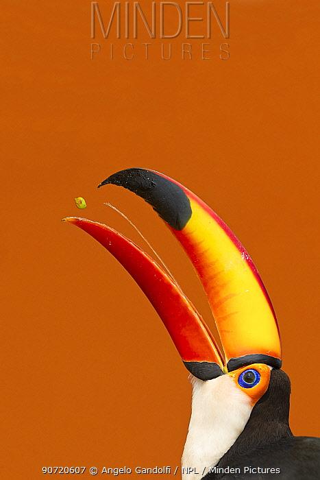 Toco Toucan (Ramphastos toco) beak open with tongue visible while feeding on mango, Brazil