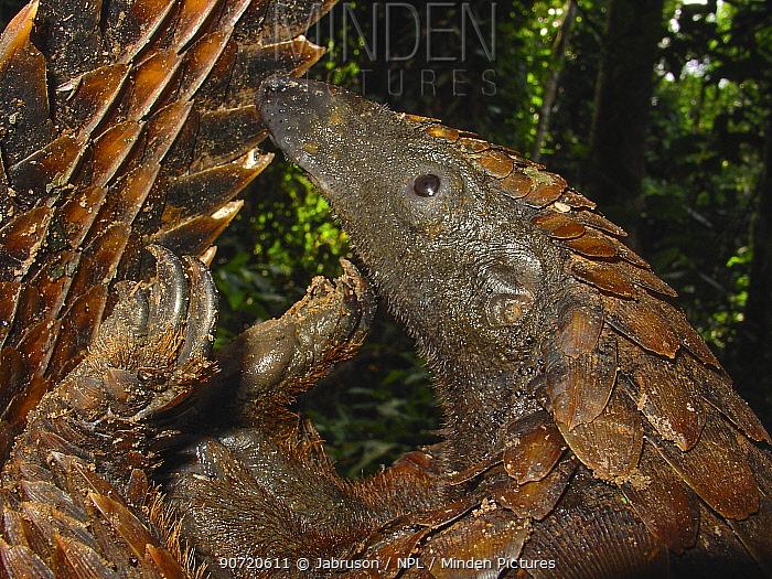 Long-tailed Pangolin (Uromanis tetradactyla) unfurling itself from protective posture, Lokoue Bai. Odzala-Kokoua National Park, Republic of Congo