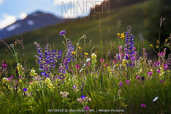 Alpine meadow in flower including Scabious flowers. Austrian Alps at 1700 metres altitude, North Tyrol, Austria, June