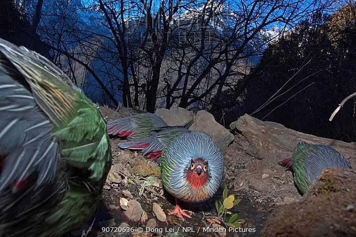 Blood pheasants (Ithaginis cruentus) foraging in habitat, one looking at the camera, Meli Snow Mountain National Park, Yunnan Province, China, January. Endemic. Taken with remote camera.