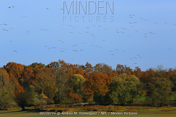 Common cranes (Grus grus) in flight over forest, Orient Forest Regional Natural Park, Champagne, France, November.