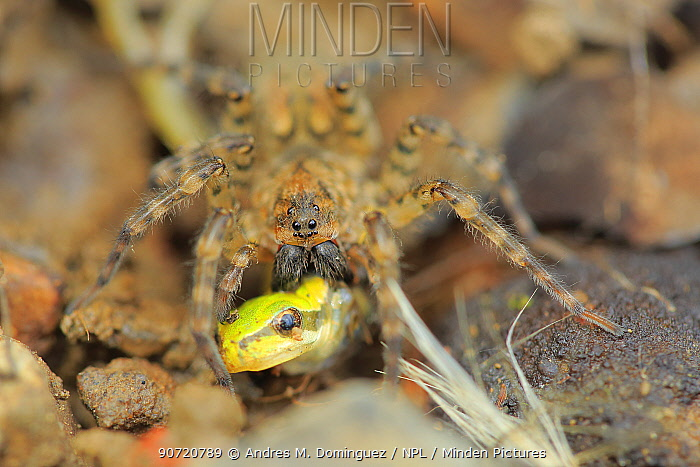 Wolf spider (Lycosidae) hunting juvenile tree frog, Sierra de Grazalema Natural Park, southern Spain, July.