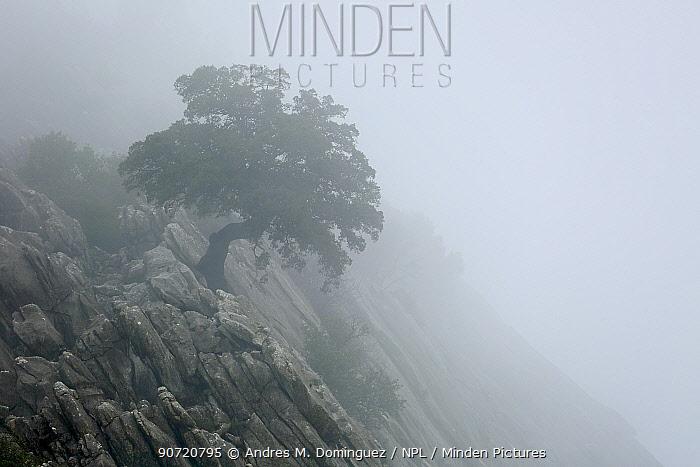 Holm oak (Quercus ilex) in the mist,  Sierra de Grazalema Natural Park, southern Spain, December.