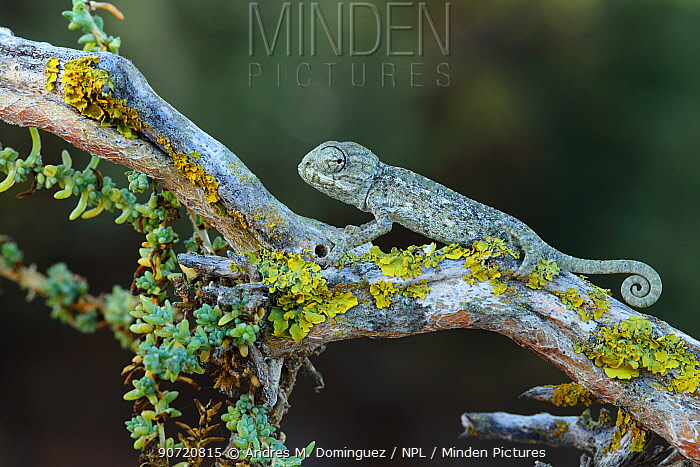 Mediterranean chameleon (Chamaeleo chamaeleon) juvenile,  Valdelagrana, southern Spain, August.