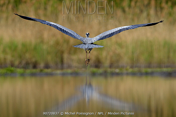 Grey heron (Ardea cinerea)  flying over water, Pusztaszer, Hungary, April