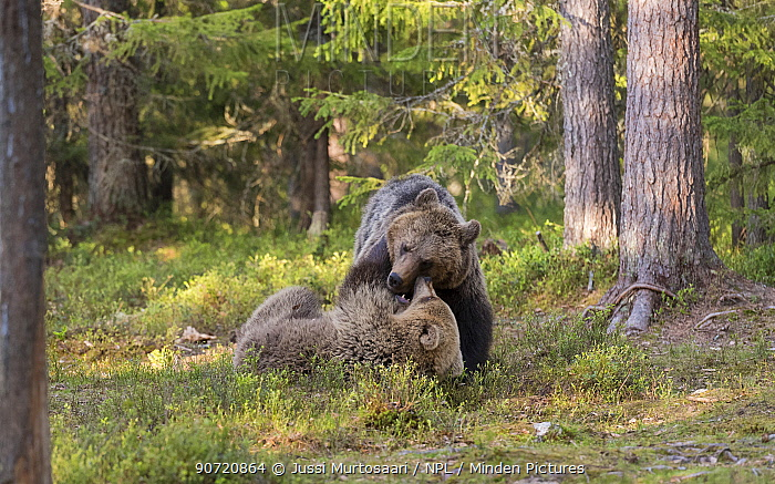 Brown bears (Ursus arctos) juveniles play fighting, Kainuu, Finland, May.