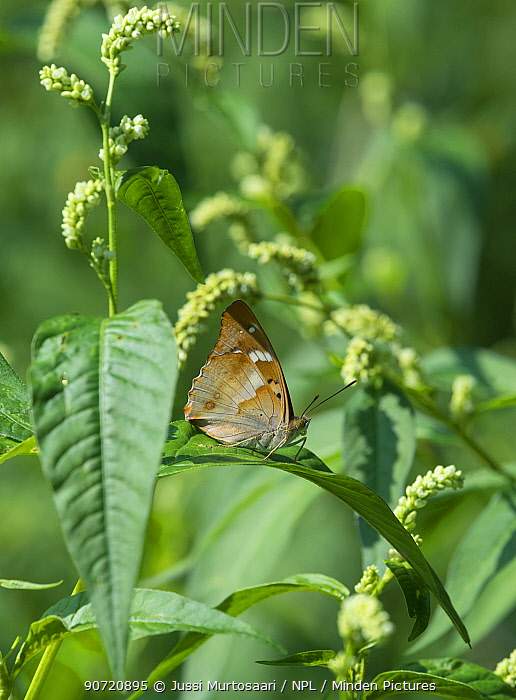 Lesser purple emperor butterfly (Apatura ilia), male sitting on a leaf, South Karelia, Finland, August.