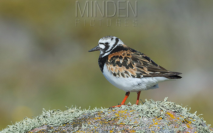 Ruddy turnstone (Arenaria interpres) Korpoo, Uto, Finland, May.