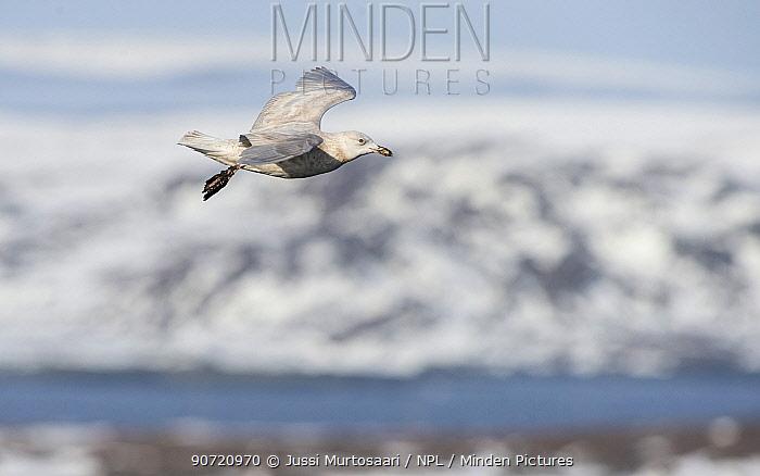 Glaucous gull (Larus hyperboreus), juvenile in flight, Hornoya, Norway, April.
