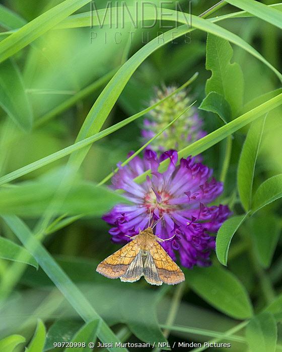 Bordered sallow moth (Pyrrhia umbra) on flower, Uusimaa, Finland, July.