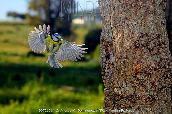 Blue tit (Cyanistes caeruleus) flying to nest hole in tree trunk with food in beak, Sierra de Grazalema Natural Park, southern Spain, May.