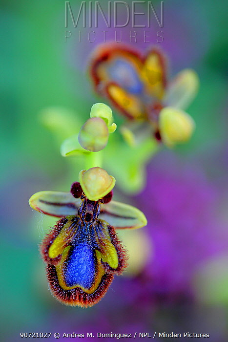 Mirror orchid (Ophrys speculum) in the  Sierra de Grazalema Natural Park, El Bosque, southern Spain, April.