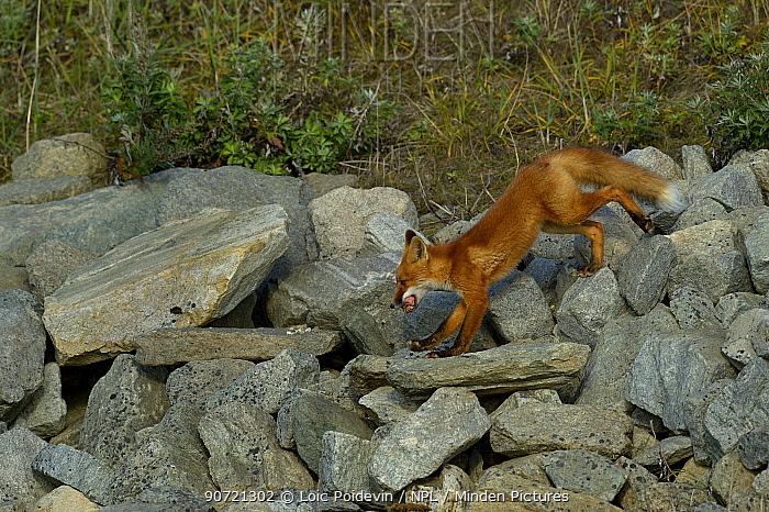 Red fox (Vulpes vulpes) on rocks, Nome, Alaska, September
