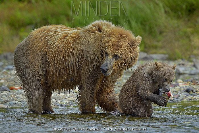 Grizzly bear (Ursus arctos horribilis) mother with cub feeding on salmon, Katmai National Park, Alaska, USA, August