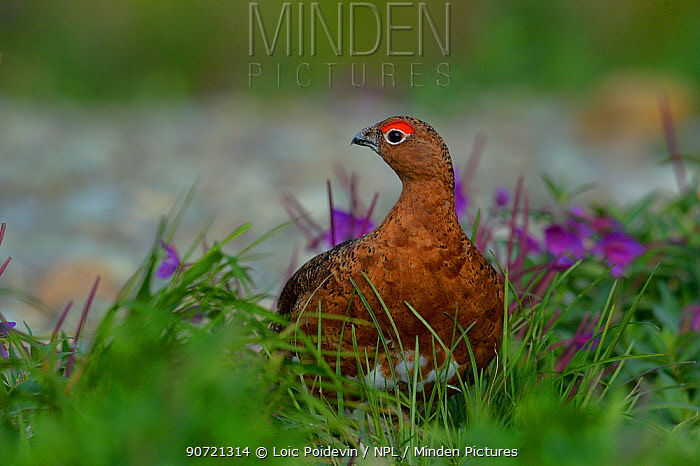Willow ptarmigan (Lagopus lagopus) amongst flowers, Katmai National Park, Alaska, USA, August