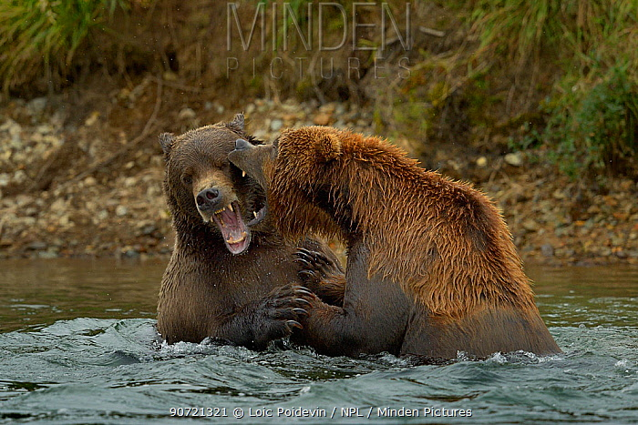 Grizzly bears (Ursus arctos horribilis) fighting in water, Katmai National Park, Alaska, August