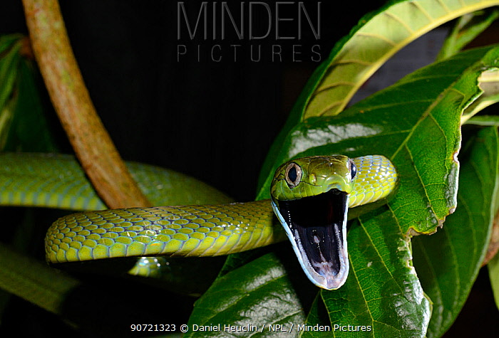 Green rat snake (Boiga cyanea) in branches, captive, occurs in South East Asia. Venomous species.