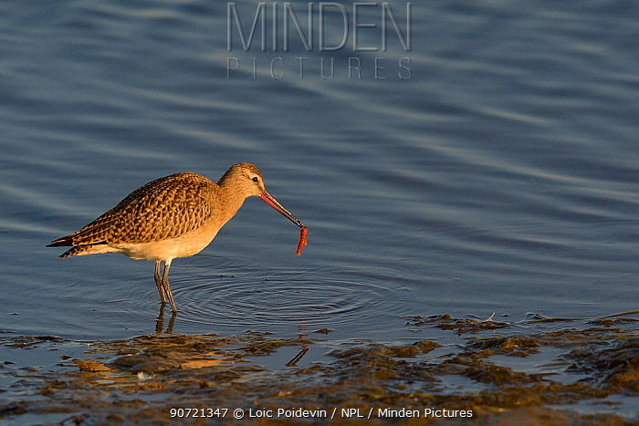 Bar tailed godwit (Limosa lapponica) at water's edge with prey, Nome, Alaska, USA, September