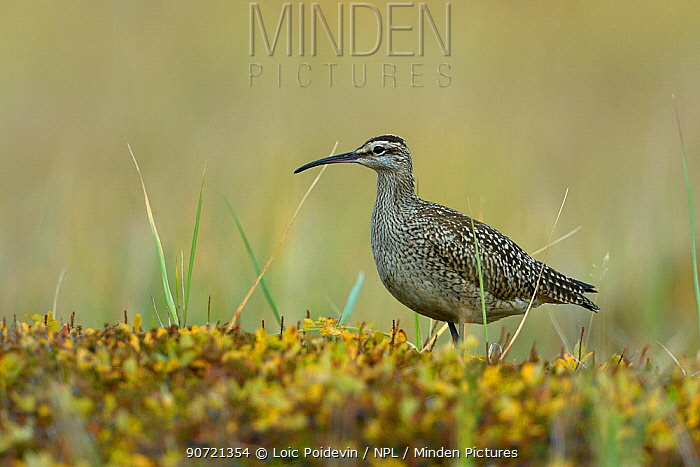 Bristle thighed curlew (Numenius tahitiensis) Nome, Alaska, USA, September