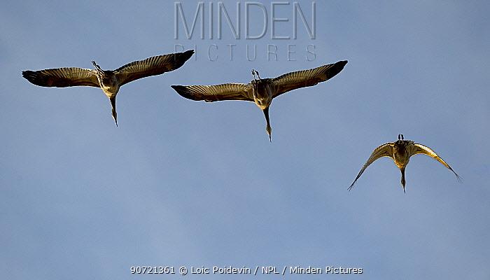 Sandhill cranes (Grus canadensis) flock in flight during migration, Nome, USA, August.