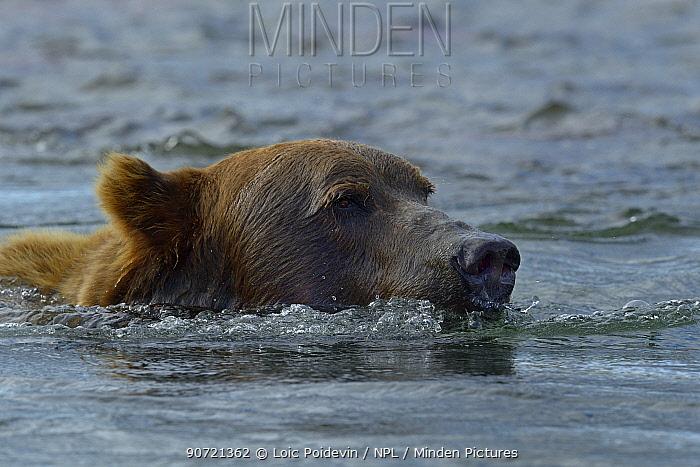 Grizzly bear (Ursus arctos horribilis) swimming at surface of water, Katmai National Park, Alaska, August