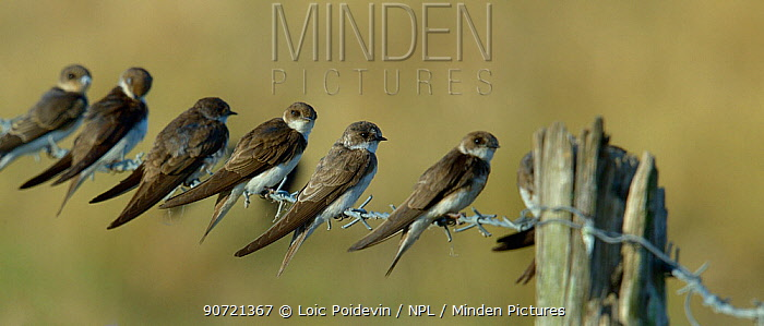 Sand martins (Riparia riparia) group of six on barbed wire, Vendee, France, July