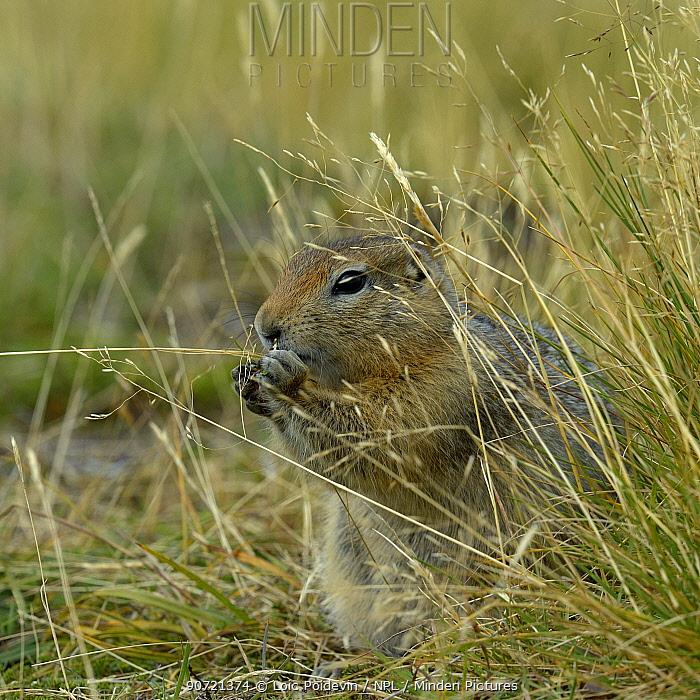 Arctic ground squirrel (Spermophilus parryii) Katmai National Park, Alaska, USA, August