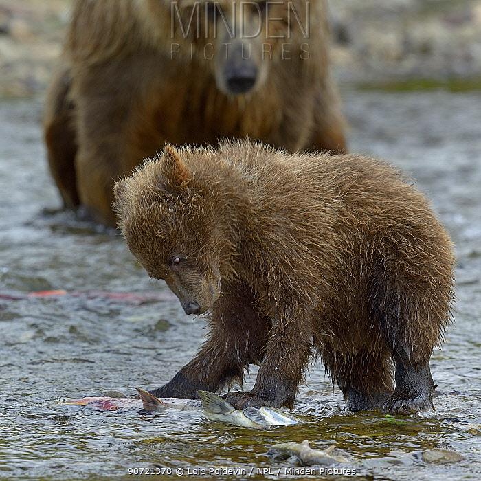 Grizzly bear (Ursus arctos horribilis) mother watching cub catching salmon, Katmai National Park, Alaska, USA, August