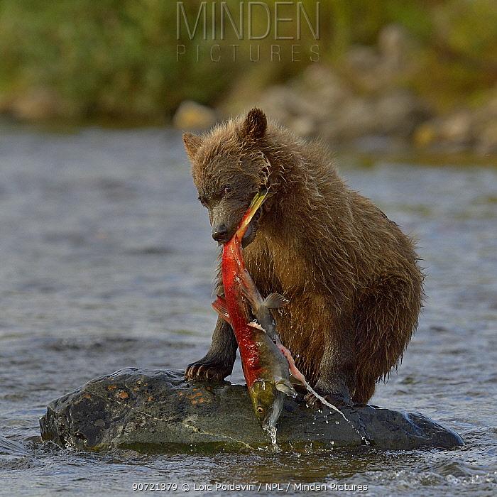 Grizzly bear (Ursus arctos horribilis) young with salmon, Katmai National Park, Alaska, August