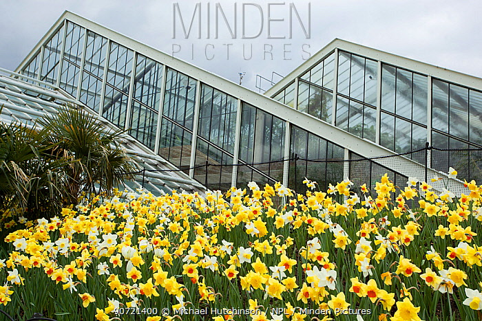 Daffodils (Narcissus sp) outside Princess of Wales Conservatory, Kew Gardens, London, UK. 23 April 2016