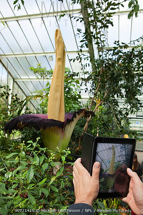 Visitor taking photograph of Titan arum (Amorphophallus titanum), in flower, cultivated specimen in botanic garden, native to Sumatra. Kew Gardens, London, UK. 23 April 2016