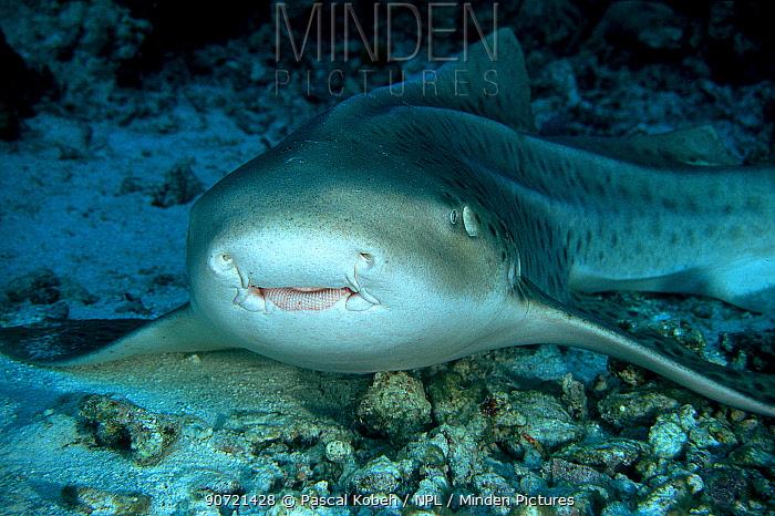 Close-up of a leopard shark or zebra shark (Stegostoma fasciatum) Maldives, Indian Ocean.