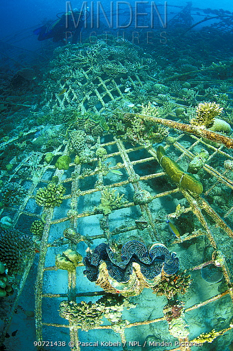 'Lotus', an artificial reef built in 2001 with a steel frame with a mild electrical current which encourages the growth of coral,  Ihuru Island, North Male Atoll, Maldives, Indian Ocean. Small reproduction only.