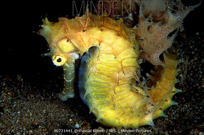 Thorny seahorse (Hippocampus histrix) Philippines, Sulu Sea.