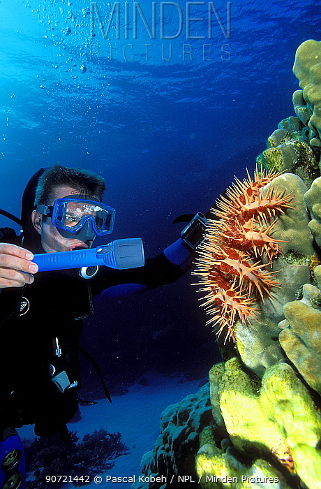Diver in front of a Crown of Thorns starfish (Acanthaster planci) which is eating the polyps of a hard coral (Porites sp.) Egypt, Red Sea.