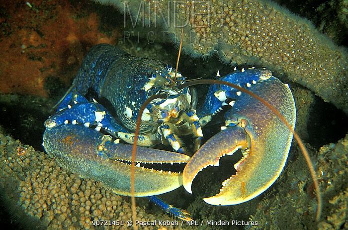 European lobster (Homarus gammarus) Vendee, France. Atlantic Ocean.