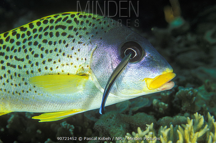 Blackspotted sweetlips (Plectorhinchus gaterinus) cleaned by a common cleanerfish (Labroides dimidiatus) Madagascar, Indian Ocean.
