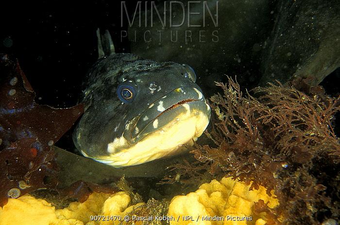 Marbled rockcod (Notothenia rossii) Bellingshausen Sea, Antarctic peninsula.
