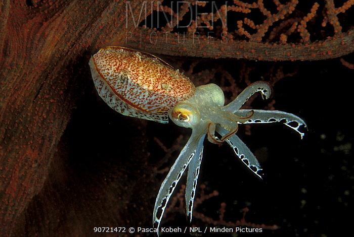 Pygmy cuttlefish (Sepia sp.) Indonesia, Sulawesi Sea.